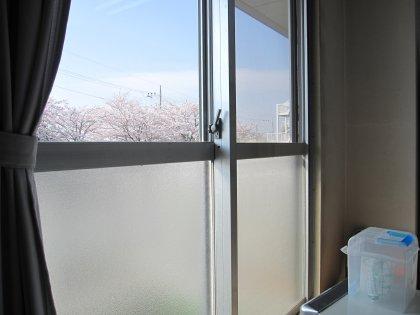 病室から見える桜