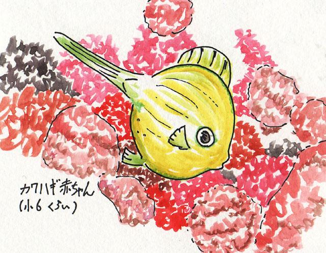 2009_31_きらめき系チッサ属カワハギの赤ちゃん