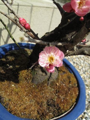 盆栽20090309