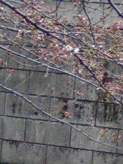 sakura 2008-3