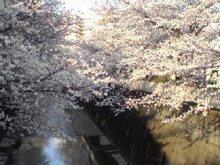 sakura river 3 26