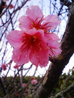 カンヒザクラ花