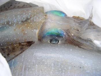 アオリの目