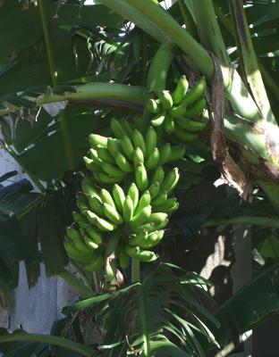バナナ1021