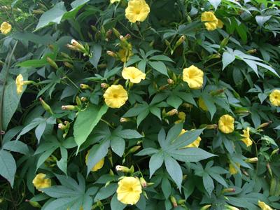 ウッドローズ花