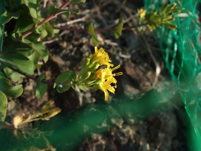 コヘラナレン花