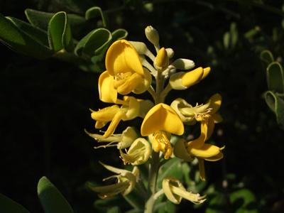 イソフジの花