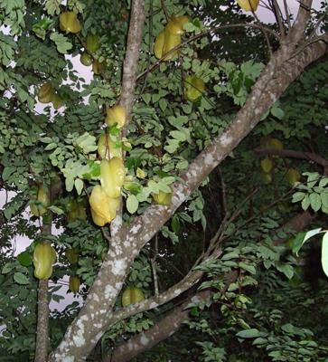 スターフルーツ木