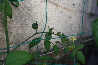 トマト02252