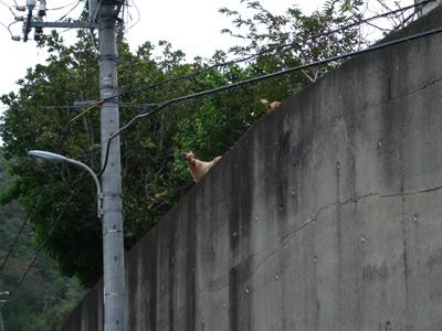 塀の上のヤギ