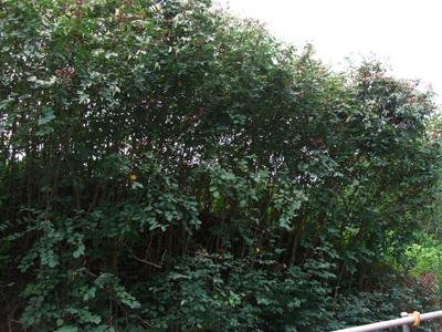 コバンノ木