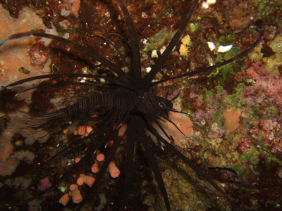 ミノカサゴ黒
