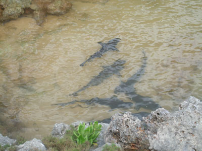 サメ池鮫0608