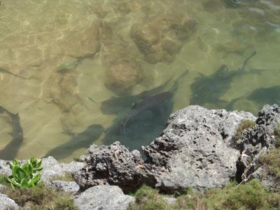 サメ池サメ0615