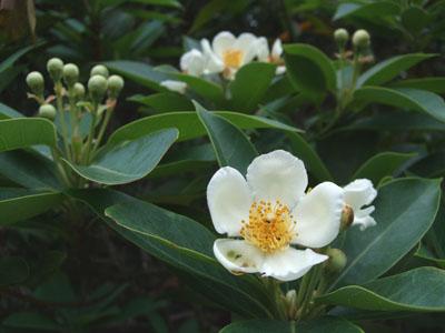 ヒメツバキ花0622