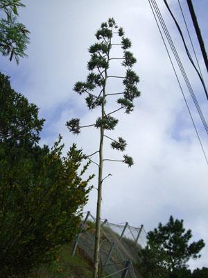 リュウゼツラン花茎