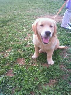 ゴールデン子犬1