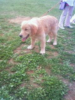 ゴールデン子犬2
