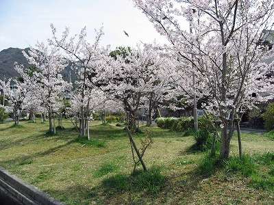 08.04.12 桜 (18)