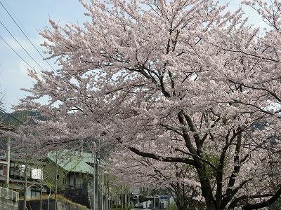 08.04.12 桜 (7)
