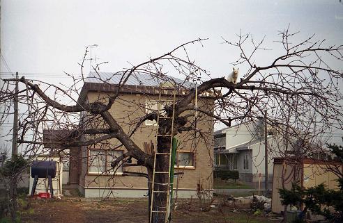 ネコと着られる前の木