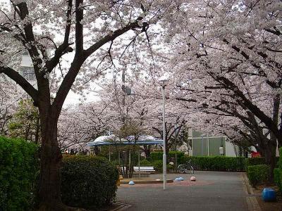 隣の桜並木