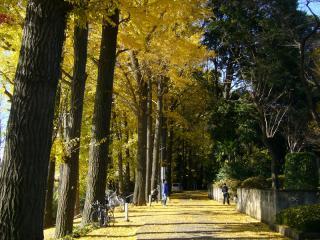 銀杏並木が綺麗でした。ふれあいんぐロードの途中です。