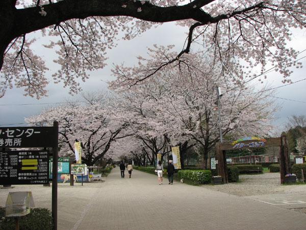 千本松牧場の桜♪