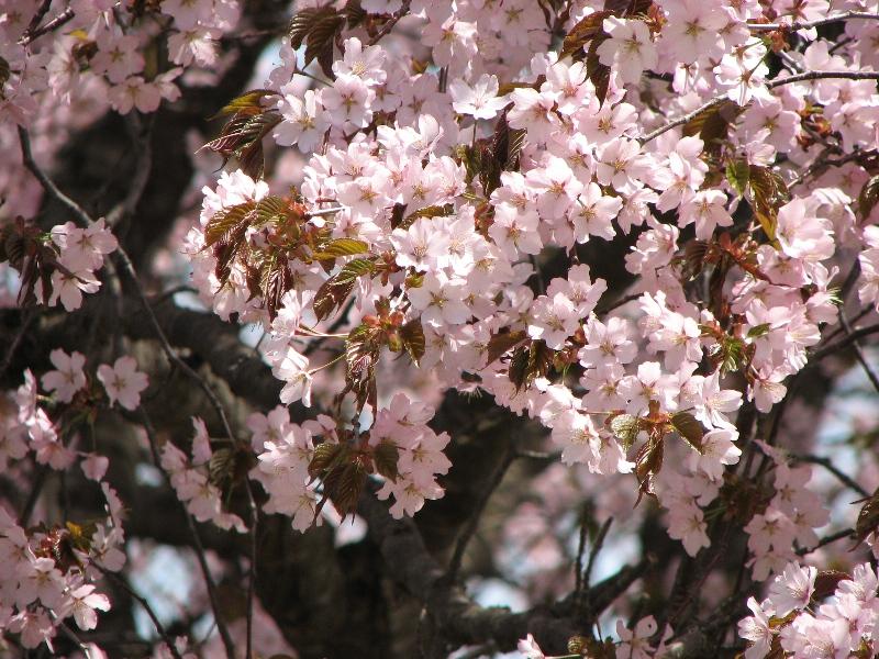 桜がきれい。