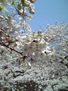 桜★桜★桜
