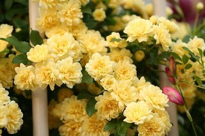 木香薔薇☆