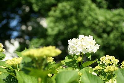 紫陽花2008