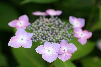 紫陽花★★★