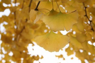 黄金色の銀杏☆