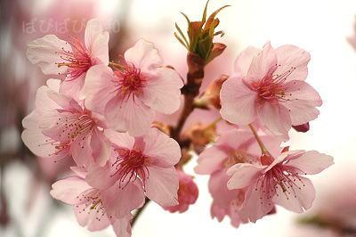 さくら?河津桜?
