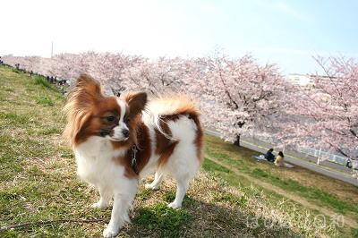 桜つつみ★ぱぴ