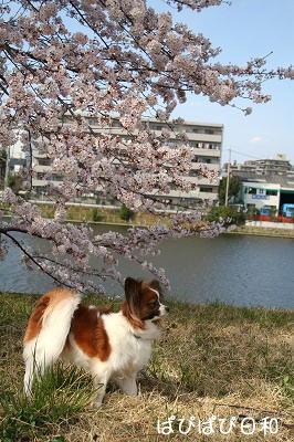 桜つつみ★