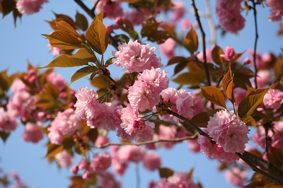八重桜も開花
