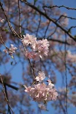枝垂れ桜も・・・