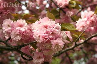 八重桜 満開★