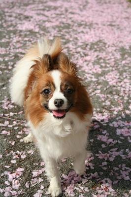 八重桜の花びら・・・