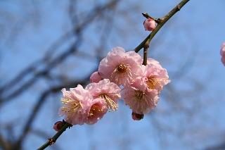 神社で咲いてた 梅?