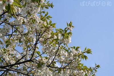 こちらの桜は満開