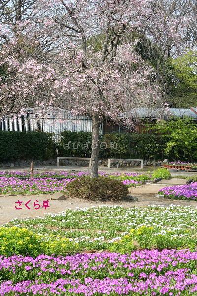 明日から 桜草園が開園。