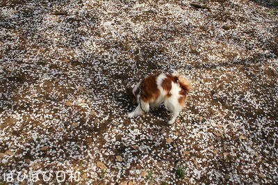 桜 吹雪♪