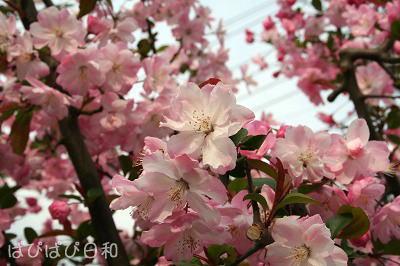 また 違う桜