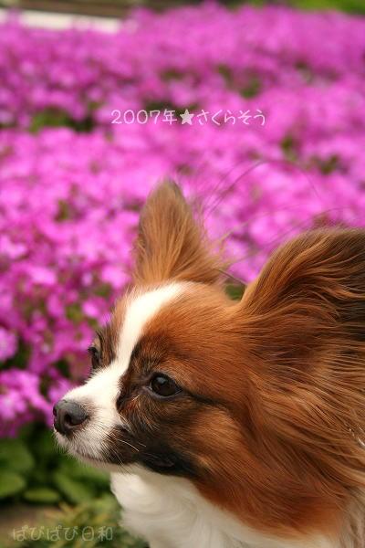 さくら草withぱぴ★