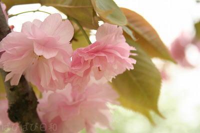 見納めかな?八重桜