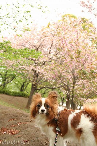 ぱぴと八重桜?