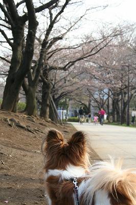 桜並木・・・まだ寂しいね。
